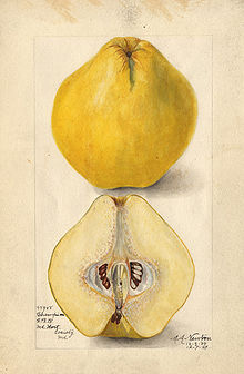220px-Champion_quince