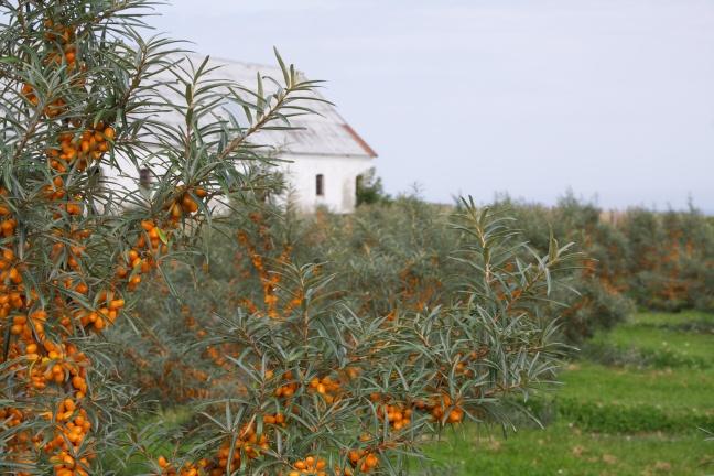 Høstet