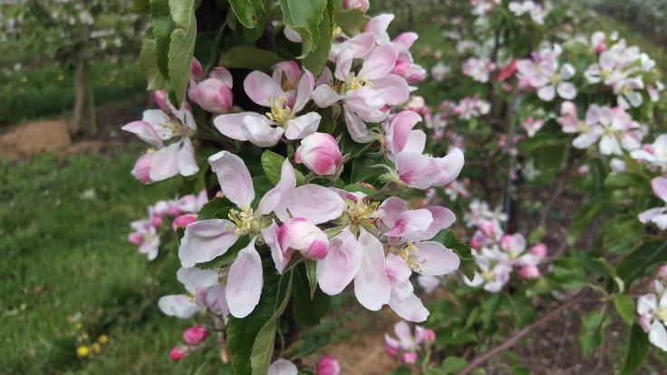æbleblomst fejø
