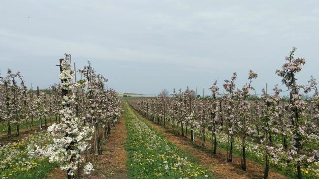 æbleplantage fejø