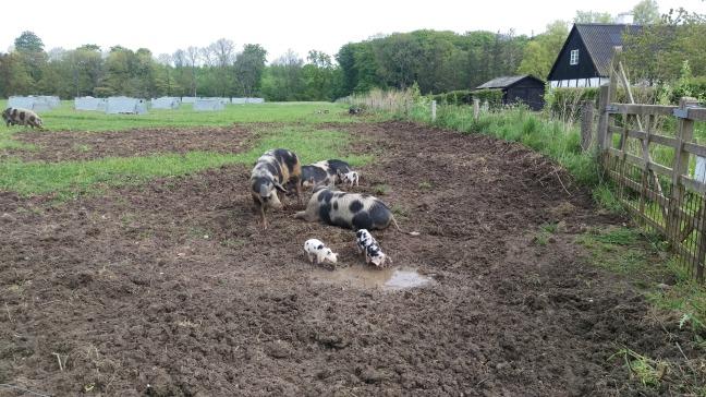 grise knuthenlund